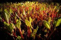 Rhubarb sheds, Yorkshire at 6am